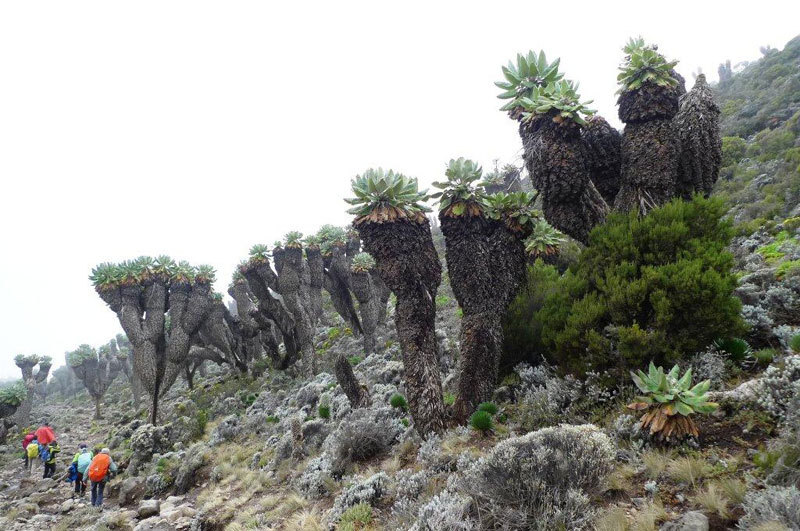 Giant Seneci plants at Barranco Camp, Nicola Noè