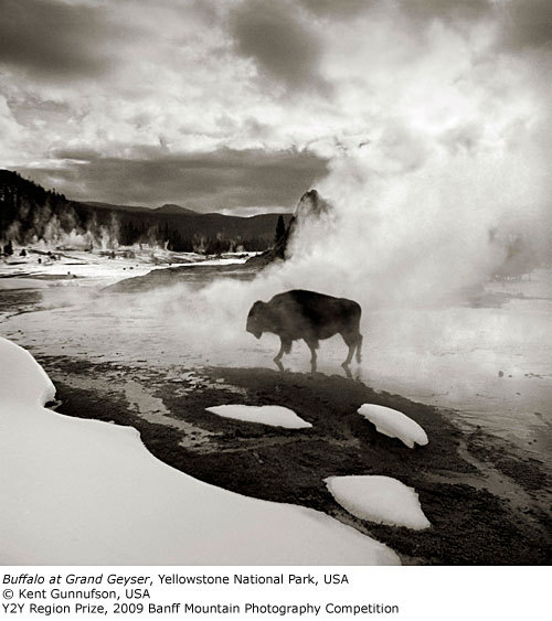 Y2Y Region Prize: Buffalo at Grand Geyser, Kent Gunnufson
