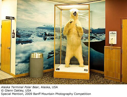 Special Mention: Alaska Terminal Polar Bear, Glenn Oakley