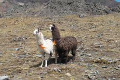 Lama in Bolivia.