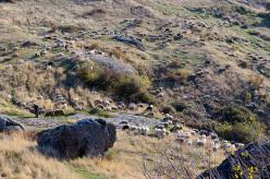 Pecore a Prilep