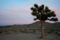 Bouldering at Bishop, USA: a Joshua Tree in Death Valley