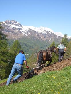 Plowing at Larzonei, Livinallongo Col di Lana
