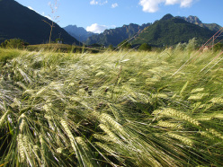 Cultivating barley at Cesiomaggiore