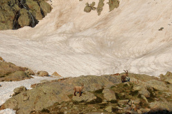 Stambecchi in alta Valle Gesso