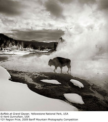 Y2Y Region Prize: Buffalo at Grand Geyser