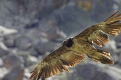 A Bearded vulture in the Gran Paradiso National Park