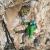 Durante l'apertura di Fuori di Zucca (7c+/8a (7b obbl), 155m, Dimitri Anghileri, Simone Pedeferri, Luca Schiera 03/2016) Garden of Dionysus parete est, Leonidio, Grecia