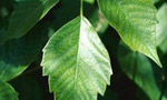 L'edera velenosa: l'ortica del climber